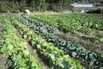 無農薬野菜作り