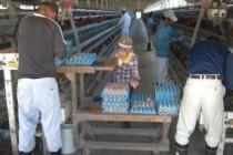 野澤養鶏場では 卵の集卵・洗卵・環境整備などを行なっています。