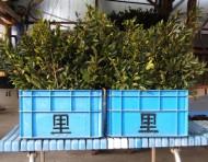 花柴は当事業所で栽培、管理、採取、販売しています。