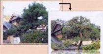 植木伐採・剪定業務 街路樹植木剪定